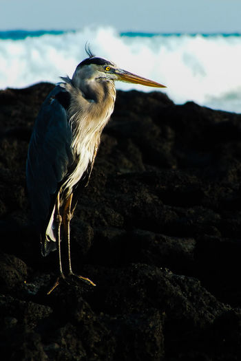 Side view of great blue heron standing on rocks