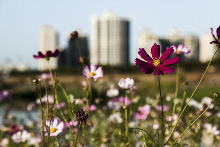 Fall Beauty Cosmos Flower Anyangcheon Seoul Korea MokDong Autumn Violet Pink