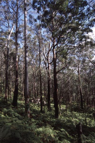 various gum trees in the australian bush Australia Bracken Bush Fern Forest Gum Tree Gums Nature Outdoors Tree Tree Trunk Trees Wood WoodLand WoodLand Woods