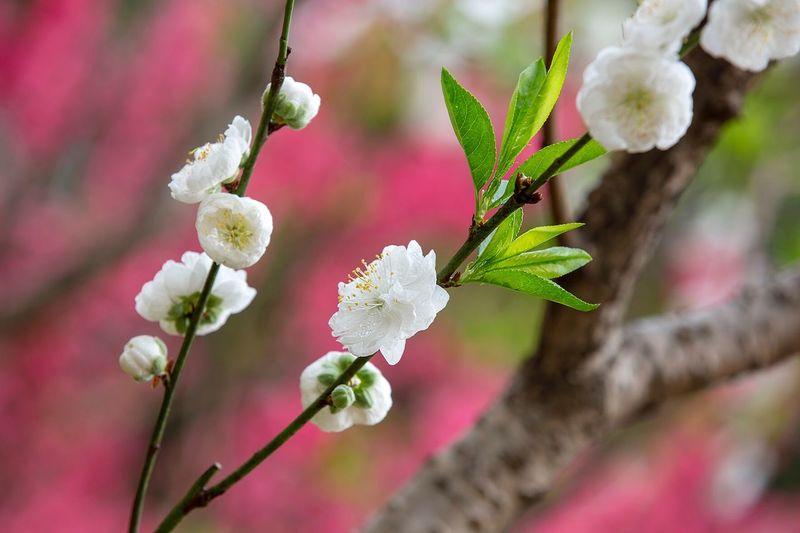 好心情(1) Flower Fragility Beauty In Nature Growth Nature Freshness Petal Plant Day Flower Head Tree No People Close-up Branch Twig Springtime White Color Blossom Outdoors Blooming