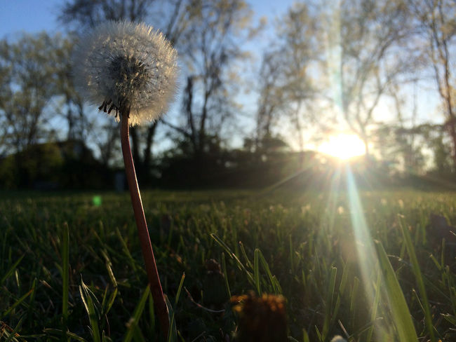 a dandelion stands alone in a field of grass. the end of day. Bare Tree Beauty In Nature Beneath Blue Dandelion Delicate Ephemeral Field Flower Focus On Foreground Gloaming Grass Green Growth Here Belongs To Me Lean Nature Plant Seeds Silhouette Sky Sunbeam Sunset Things I Like Twilight