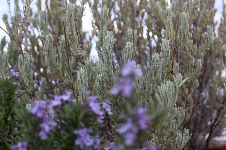 Relaxing Flower Purple Petal Nature Lavender Thime Herbs Balcony Plants Green Winter