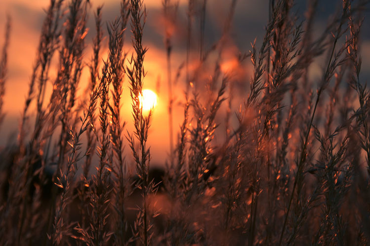 EyeEm Best Shots Agriculture Beauty In Nature Close-up Farm Field Focus On Foreground Growth Land Landscape Nature No People Orange Color Outdoors Plant Rural Scene Selective Focus Sky Stalk Sun Sunlight Sunset Tranquility
