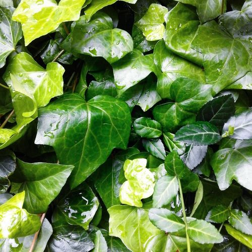 Hedera Helix Green Plant Photography Smartphonephotography
