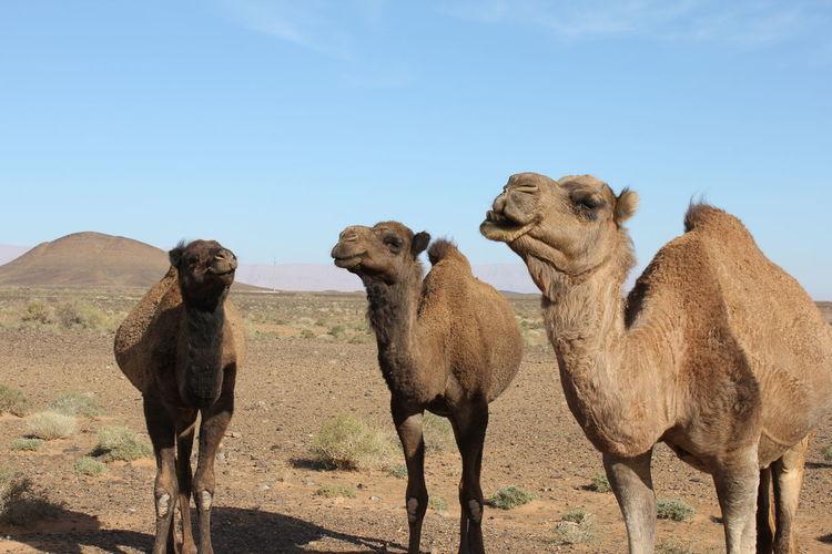 Three Dromedary in the Sahara Desert