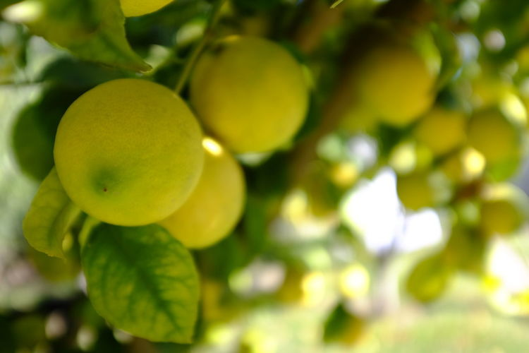 limonada Limon Limonada Amarillo Green Color Growth Healthy Eating Close-up Food And Drink No People Freshness Fruit Plant Food Wellbeing Selective Focus Leaf Beauty In Nature Day Plant Part Nature Tree Focus On Foreground Full Frame