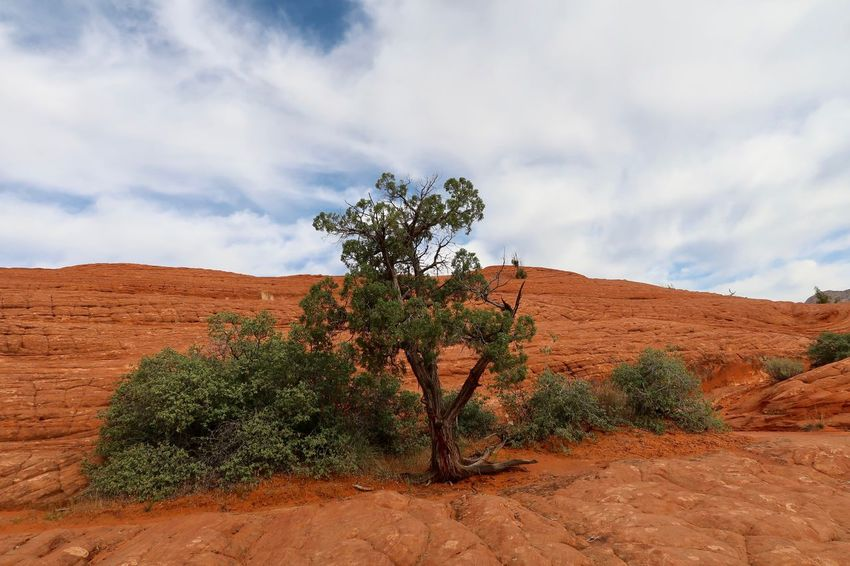 Landscape of a tree and a few bushes growing on an orange rock formation or hill Snow Canyon State Park Plant Cloud - Sky Sky Tree Nature Beauty In Nature Land Tranquil Scene No People Day Tranquility Environment Landscape Desert Growth Scenics - Nature Sand Outdoors Non-urban Scene Sunlight