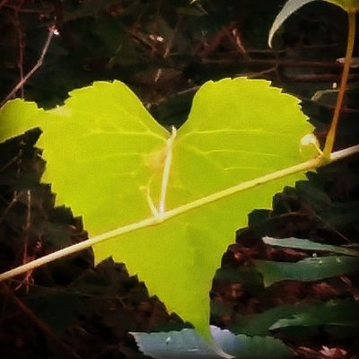 Heart Leaf Naturehippys All_my_own best_photogram countryroads fifty_shades_of_nature ig_captures igers_of_wv nature_up_close instanaturelovers jj_justnature love_natura momentsinthesun photowall_daily rsa_nature splendid_woodlands tgif_nature wv_captures bestnatureshot_ladies featured jj_justnature naturehippys