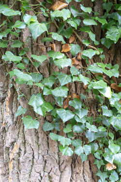 Ivy growing on rough tree bark Ivy Leaves Ivy Leaves Tree Bark Texture Textured  Parasitic Plant Parasite Growth Growing Covering Creeper Evergreen Ever Green Hardy Nature Abstract Pattern Leaf Green Colour Color Rough Surface Clinging