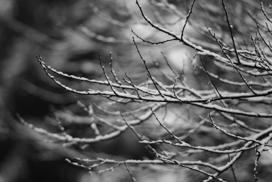 Neuschnee bedeckt am frostigen Morgen des 8. März 2018 die kahlen Zweige der Sträucher in einem Bauerngarten im nördlichen Kreis Plön/Schleswig-Holstein. Foto (c) 2018 Kay-Christian Heine Curves Frost Abstract Bare Tree Beauty In Nature Blackandwhite Bokeh Branch Close-up Cold Temperature Cottage Garden  Curves And Lines Day Focus On Foreground Freshness Nature No People Outdoors Pattern Snow Snowcapped Tree Twig Winter