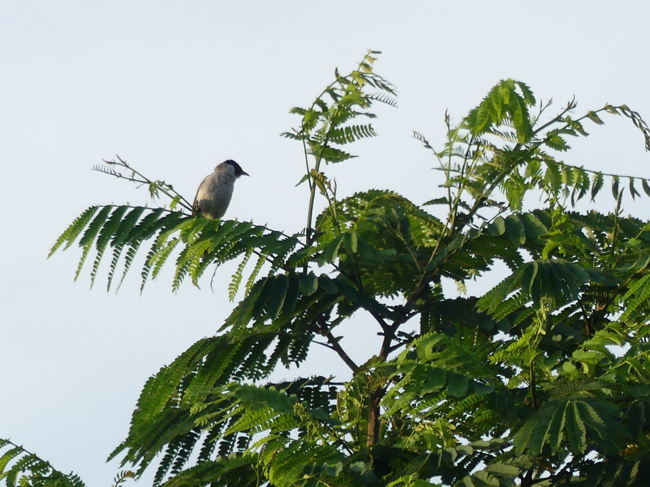 bird, animals in the wild, animal themes, low angle view, one animal, animal wildlife, perching, tree, green color, nature, leaf, clear sky, branch, no people, growth, day, outdoors, beauty in nature, sky