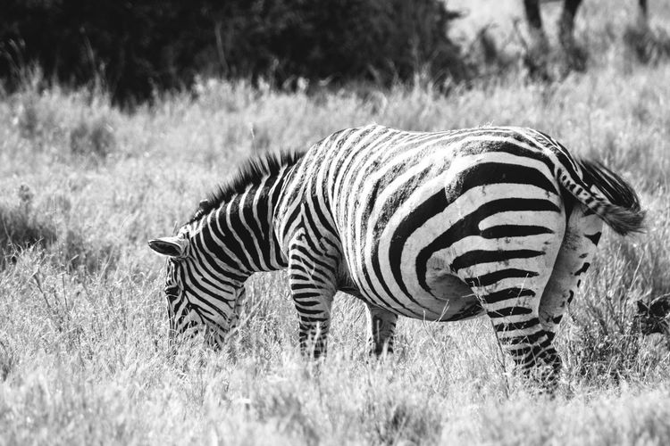 Zebra Grazing On Field