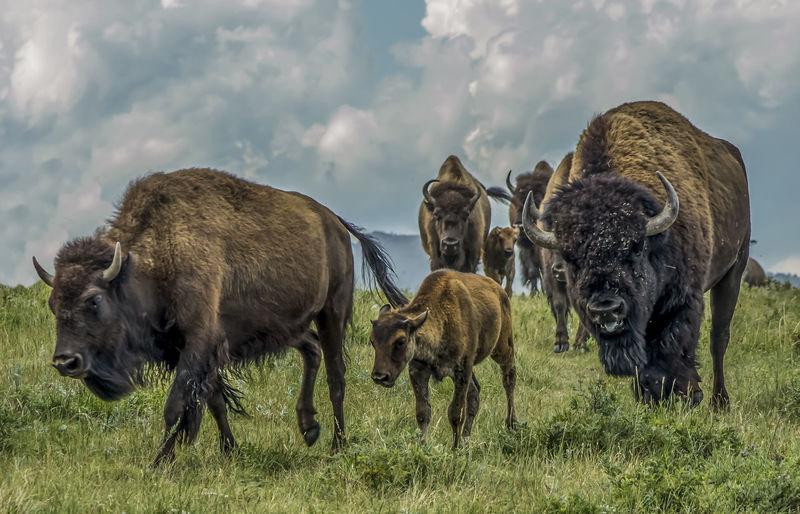 American bison on field against sky