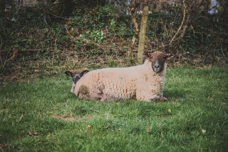 Plant Grass Animal Themes Animal Mammal One Animal Land Vertebrate Nature Relaxation Animals In The Wild Animal Wildlife Day Field Sheep Domestic Animals Looking At Camera Portrait No People Green Color Outdoors Herbivorous