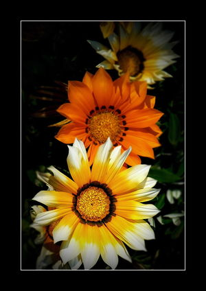 Beautiful Gazania Beauty In Nature Bee On Flower Blooming Botany Close-up Flower Flower Head Focus On Foreground Fragility Freshness Gazania Flowers Gazanias Gpmzn Growth In Bloom Leica Lens Nature Petal Plant Pollen Selective Focus Yellow
