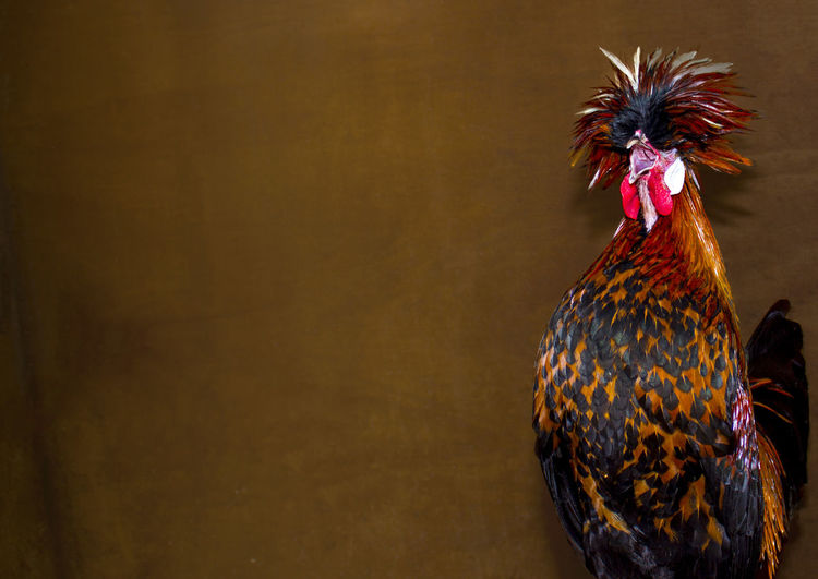 Rooster crowing against brown wall
