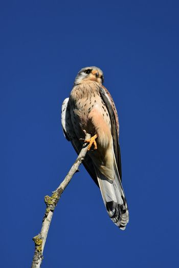 Low angle view of bird perching on branch against blue sky