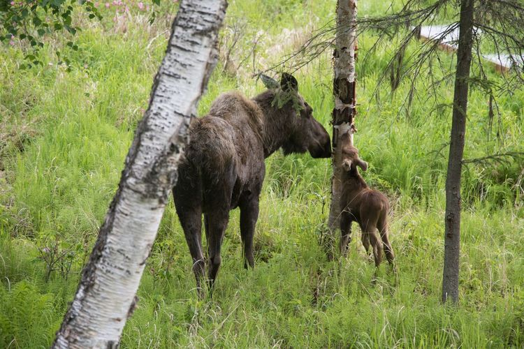 Young Animal Nature Zoology Tree Trunk Animal Themes Moose
