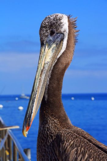 Pelican Catalina Island  California