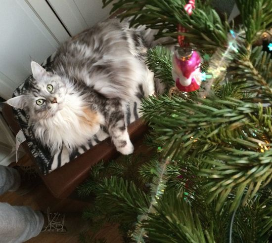Mainecoon under the Christmas Tree