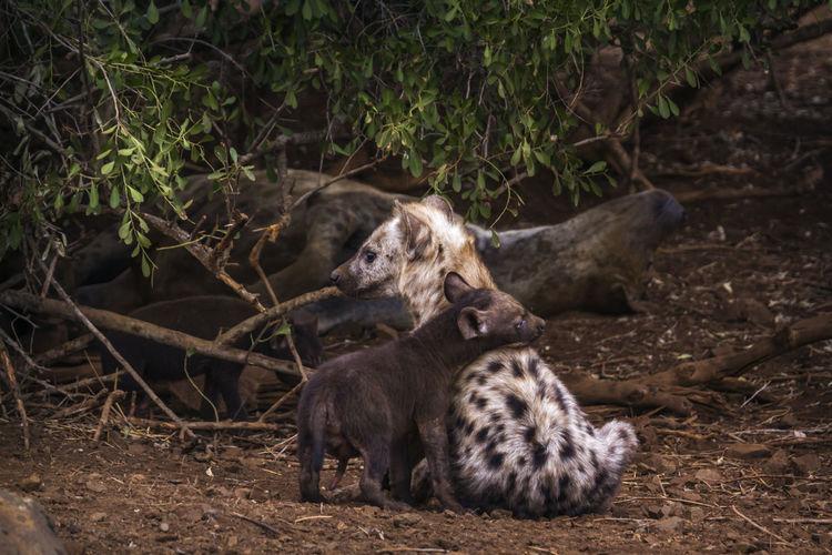 Hyenas sitting on land