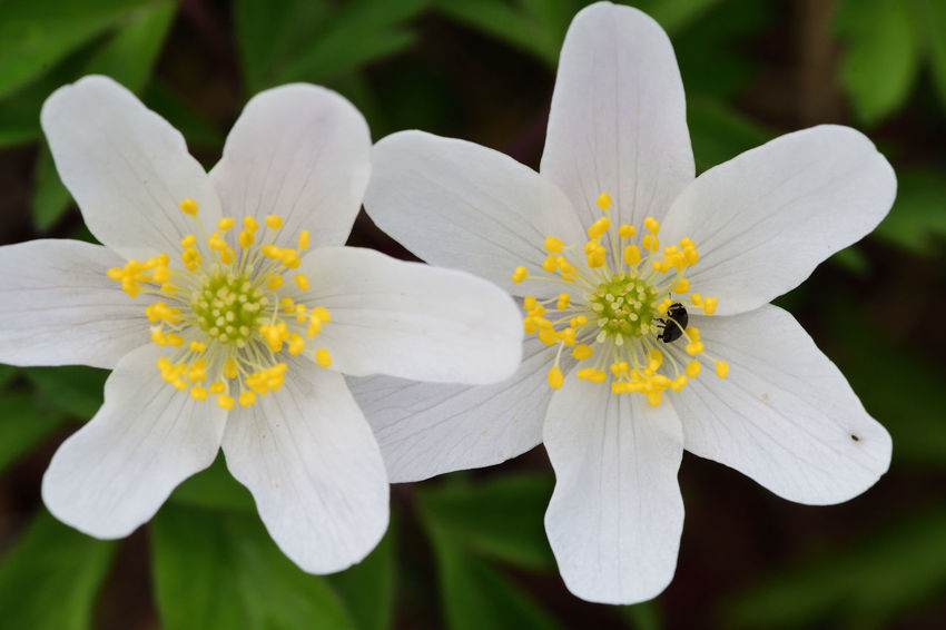 Check This Out EyeEm Best Shots EyeEm Nature Lover Freshness Nature Taking Photos Wildflower Wood Anemone Beauty In Nature Blooming Close-up Day Flower Flower Head Flowers Fragility High Angle View Macro Nature_collection No People Outdoors Spring Flowers Springtime White White Flower