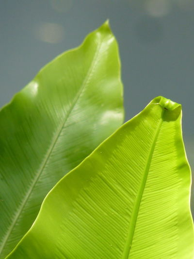 Bird's-nest fern、 Nest fern Bird's-nest Fern Nest Fern Aleq Banana Leaf Beauty In Nature Close-up Day Fragility Freshness Green Color Growth Leaf Leaf Vein Leaves Natural Pattern Nature No People Outdoors Plant Plant Part Selective Focus Tranquility Vulnerability