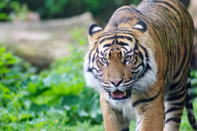 Animal Big Cat Tiger One Animal Danger Animalphotography Beautifulanimal Tiger Face Wild Impressive Photography Cat Animal Themes Focus On Foreground No People Zoo Zooanimals Photo Hobbyphotography Nature Nature Photography Photooftheday Day Outdoors Animal Wildlife