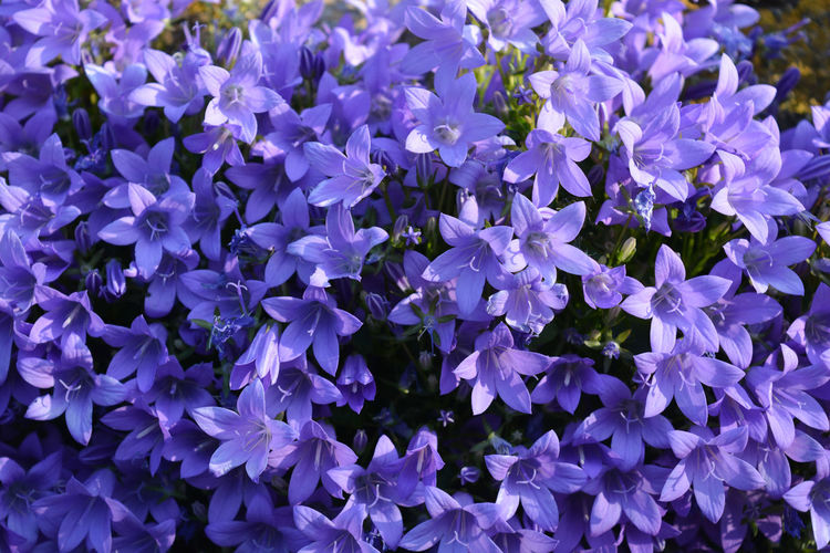 Beautiful mass of purple flowers, known as campanula bavarian blue, growing out of a garden wall