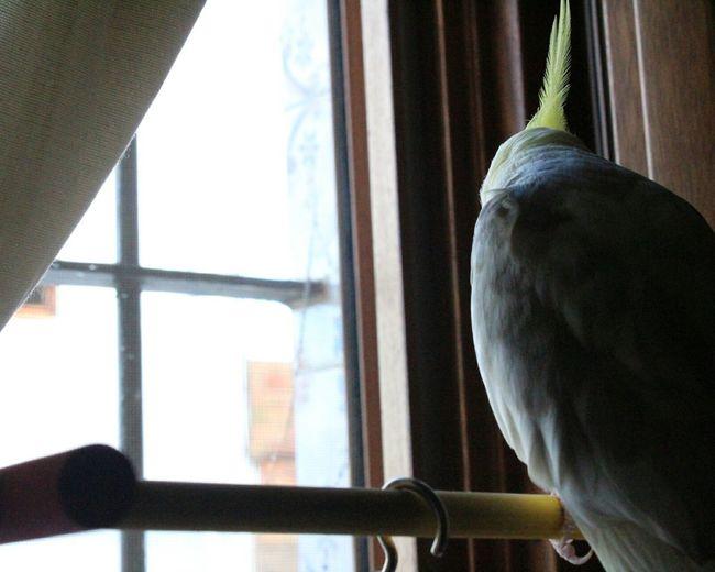 I got u Window Indoors  One Animal Home Interior No People Day Animal Themes Close-up Bird Cacatua Ninfa