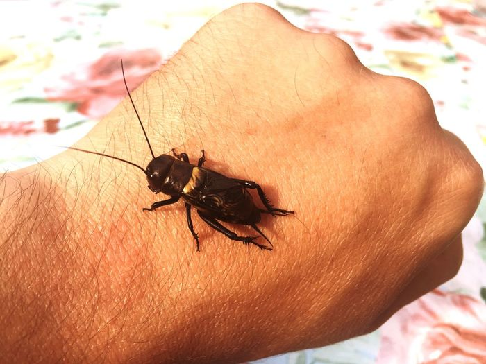Cricket One Person Real People Insect Human Body Part Animals In The Wild Close-up Human Hand One Animal Animal Themes Human Skin Day Outdoors People