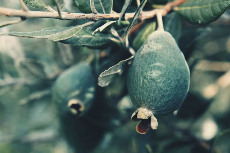 |Feijoa| Harvest | Bluegreen | New Zealand | First Eyeem Photo