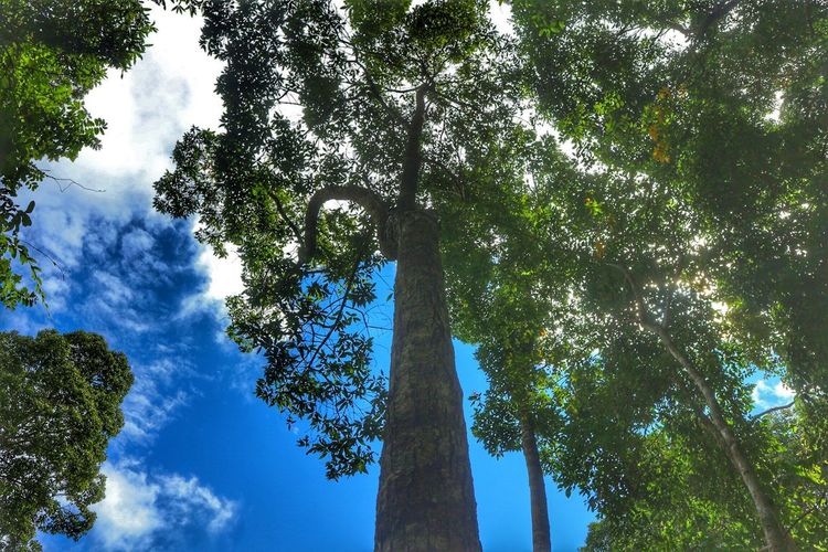 Tree Low Angle View Growth Tree Trunk Nature Day Green Color Sky Outdoors Blue Beauty In Nature No People Branch Forest