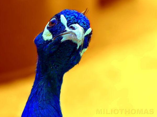 Blauer Pfau Påfugl Indian Peafowl Pavo Cristatus Blauwe Pauw Pavo Cristatus Pavo Cristatus Hint Tavuskuşu Indian Peafowl Or Blue Peafowl Focus On Foreground παγώνι Teyrê Tawiz