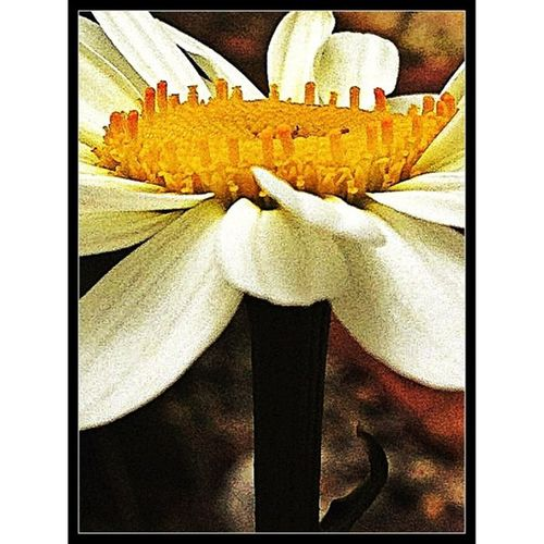 #daisy #picoftheday #tbt #igdaily #webstagram #statigram #insta_underdog #junephotoaday #macro #macrolove #macrophotography #macrooftheday #macroporn #macro_flower #macro_family #closeup #micro #macromania #macroflower #macrolens #macroaddict #macroshot Webstagram Macro_flower Macrooftheday Macro Macroshot Daisy Macrolens Macrotastic Macroporn Picoftheday Macrolove Micro Junephotoaday TBT  Insta_underdog Closeup Macro_family Macroflower Igmacro Macrophotography Macroaddict Macromania IGDaily Statigram