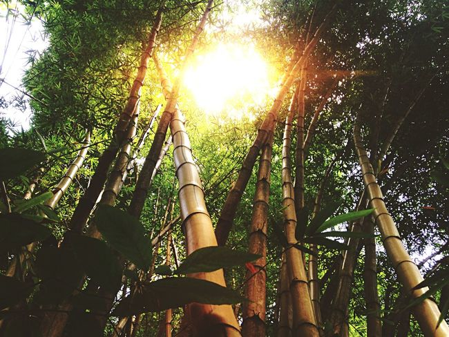 Those giant bamboos in Costa Rica's forests...! >>>Wanna apply this Open Edit on your own photo? Simply tap the filters icon in the upper right corner and select one of your photos. I recommend using a nature/forest photo with direct sun backlight for this edit:) Forest Bamboo Nature Nature_collection Traveling The Adventure Handbook The Great Outdoors With Adobe 43 Golden Moments