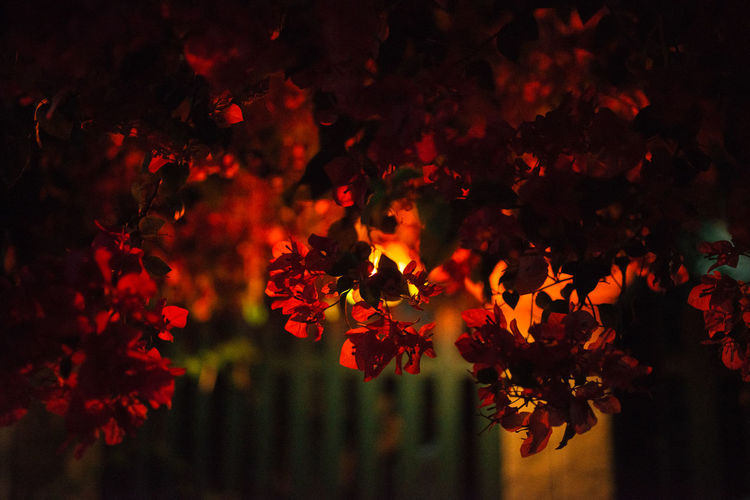 Bougainvillea growing on tree against illuminated lighting equipment at park