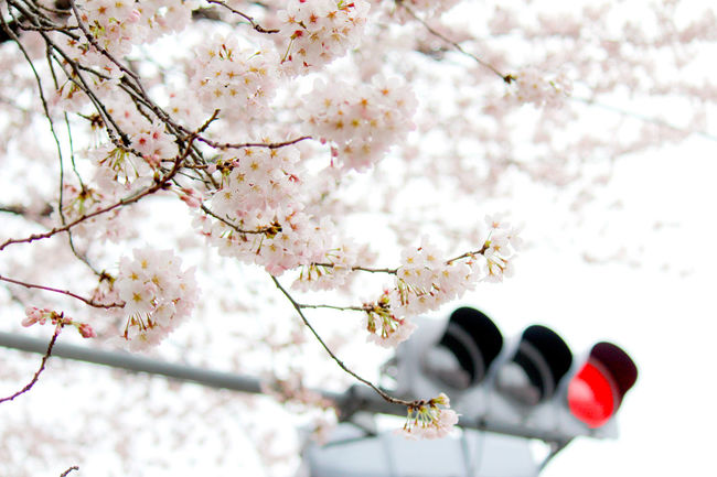 Bokeh Photography Beautiful Cherry Blossom Cherry Blossoms EyeEm Nature Lover Getting Inspired Light Pink Flower Signal Spring Flowers Taking Photos Urban Photography Showcase April Urban Spring Fever Tokyo,Japan Ultimate Japan