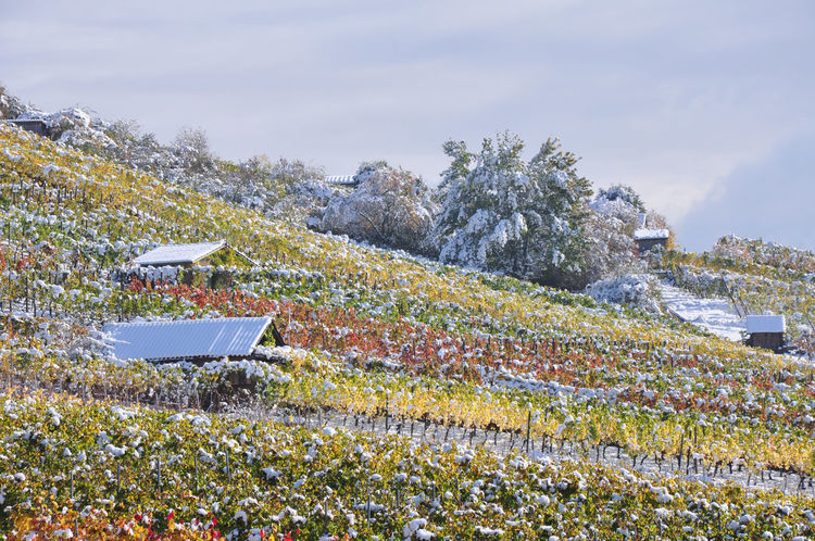 snow covered vine plants in October with colored leaves Autumn Colors Autumn Leaves Weather Beauty In Nature Early Snowfall Landscape Nature Scenics Season  Snow Vine Leaves Vineyard