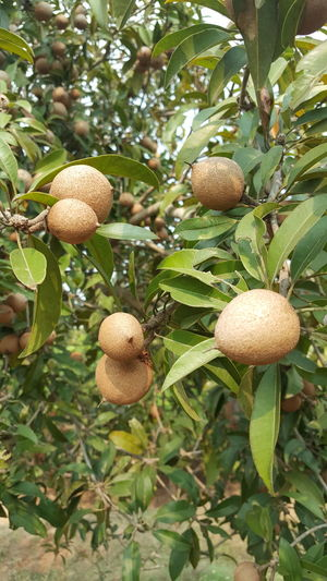 Sapodilla (sapota) fruits Chikoo Chikoo Fruits Foodphotography EyeEm EyeEm Gallery Eyeem Market Getty Getty+EyeEm Collection Gettyimages Eyeemphotography Organic Gardening Getty Image-collection Organic Food Fruit Photography Fruitporn Nutritious Garden Photography EyeEm Nature Lover EyeEm Best Shots Hanging Fruit Sapodilla Fruit Sapodilla Tree Sapodilla Sapota Fruit Food And Drink Food Freshness Close-up Beauty In Nature