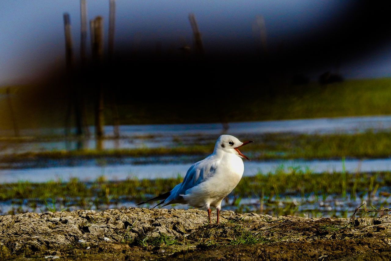 bird, one animal, nature, animal themes, animals in the wild, focus on foreground, animal wildlife, no people, outdoors, water, beauty in nature, day, beach, seagull, sea, close-up, perching