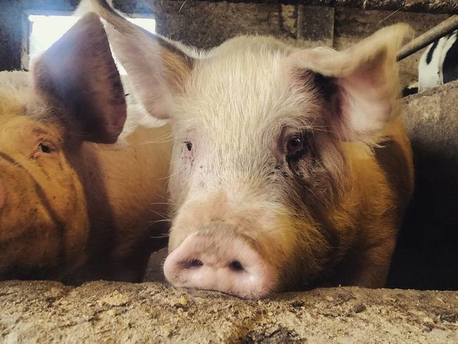 the sweetest face ever! Cuteanimals Animalofinstagram Agriculture Italy Italia Farm Farm Life Piggy Cute Cute Pets Cutie Mammal Animal Pig Animal Themes One Animal Portrait Animal Head  Looking At Camera No People Outdoors Piglet Close-up Nature Domestic Animals