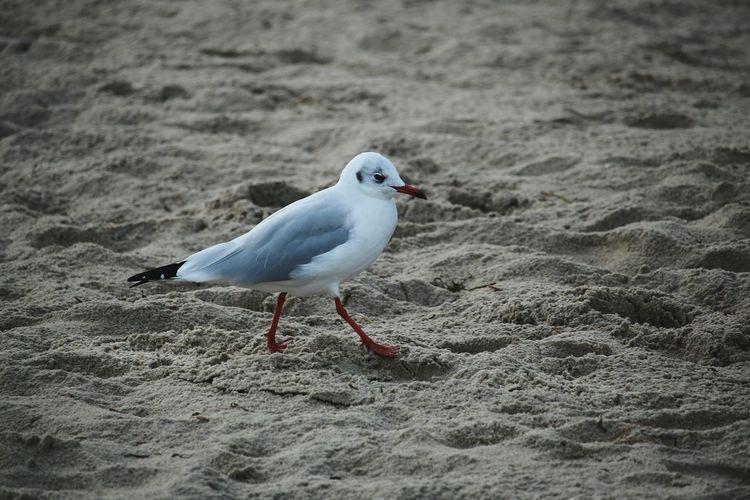 Seagull Birds Sand Seaside Relaxing Nature Enjoying Life Bird Photography Bird Birds_collection