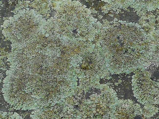 Lichen squashed flat, at the edge of the boating lake. Flattened Full Frame Green High Angle View Lichen On Stone Pattern Textured  Trampled