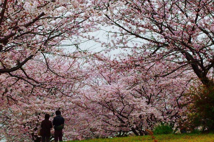 Olympusxz2 サクラ Cherry Blossoms