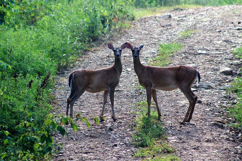 Oh Deer! Tree Standing Field Grass Landscape Green Color Deer Hoofed Mammal Animal Family Herbivorous Grazing Antler Stag