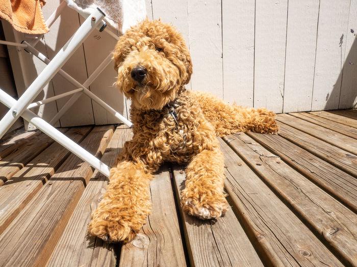Portrait of dog relaxing on wooden floor