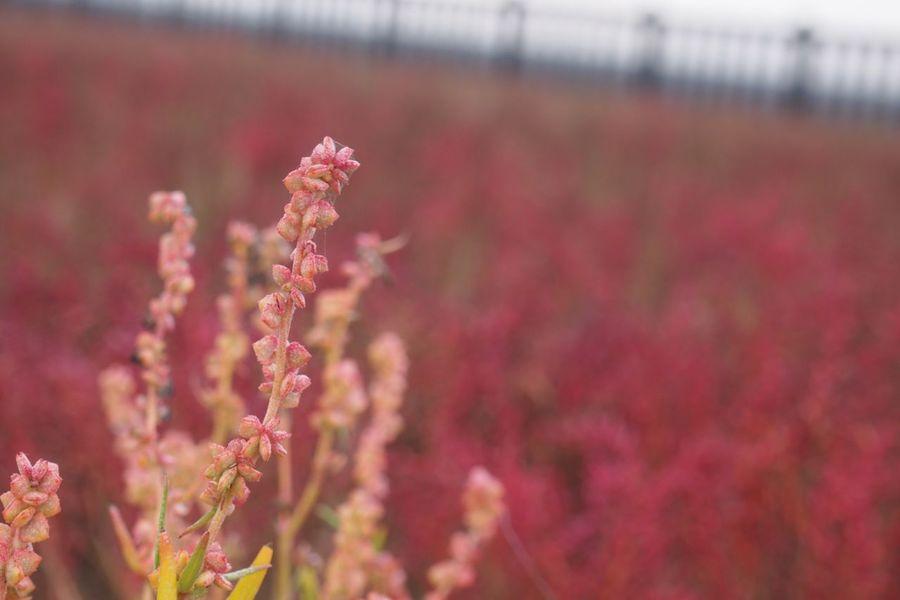 シチメンソウ 佐賀 Saga 植物 Plant
