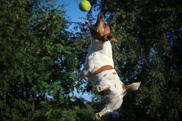 Side View Of A Dog Jumping Against Trees