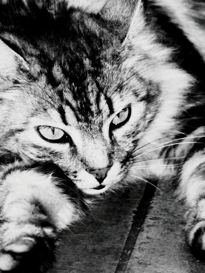 Cat♡ Eolo Animals B&w